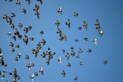 flying_pigeons_202823